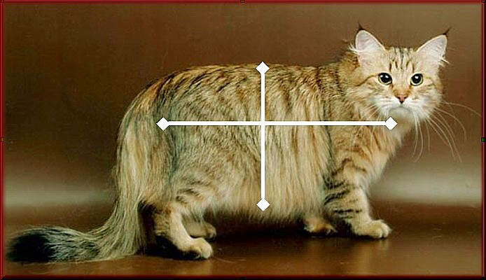 Siberian Cat seen from the side, correct body proportions